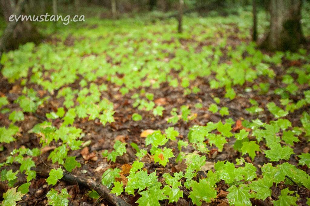 image of a blanket of maple seedlings across a canopied forest floor