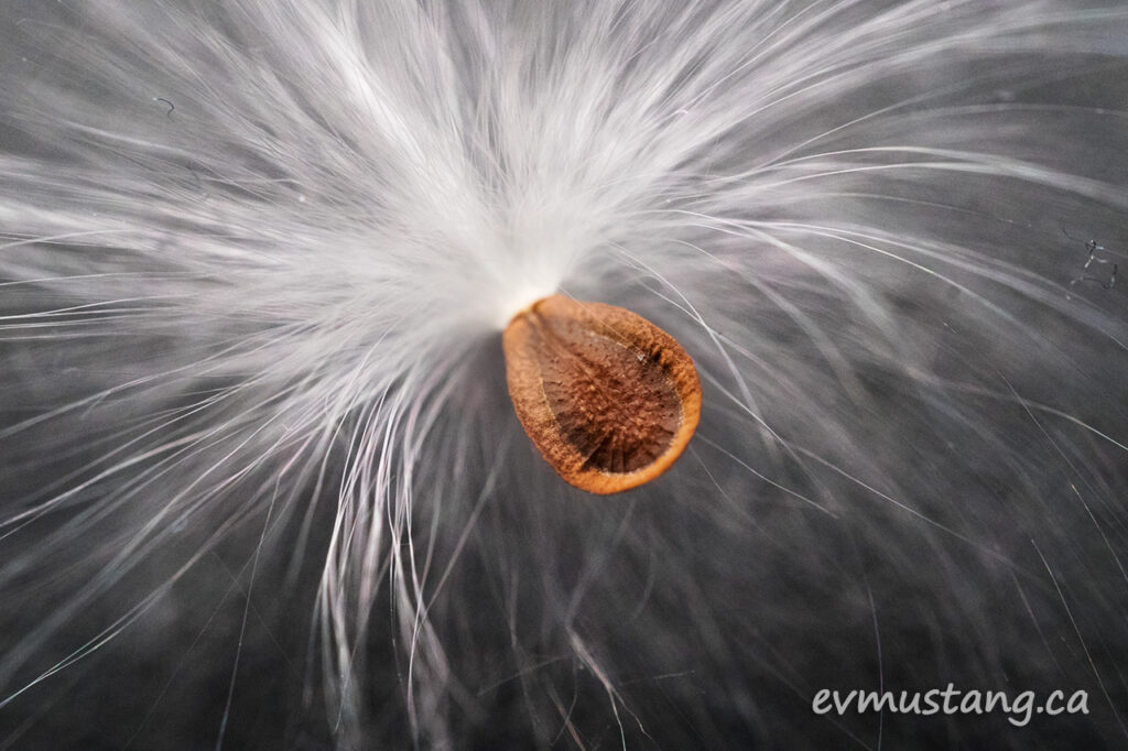 close up image of asclepias syriaca, common milkweed seed