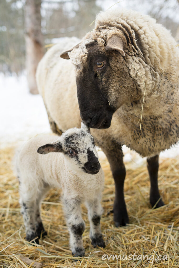 image of a ewe and two day old lamb nuzzling