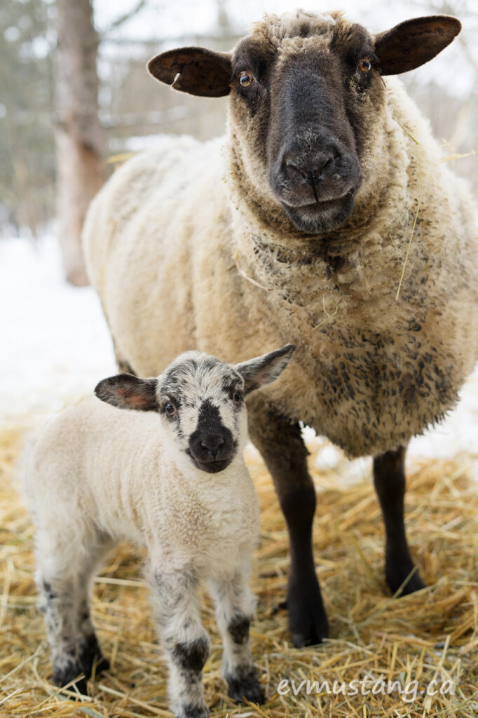 image of a ewe and lamb almost posing for a family portrait