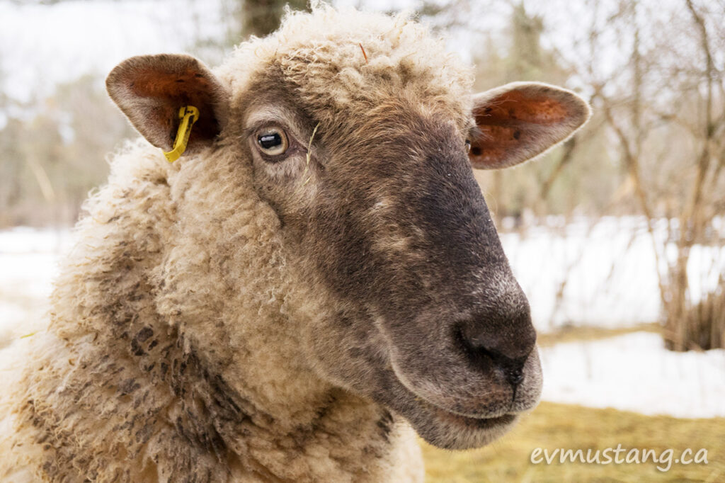 poprtrait image of stomp, the ewe