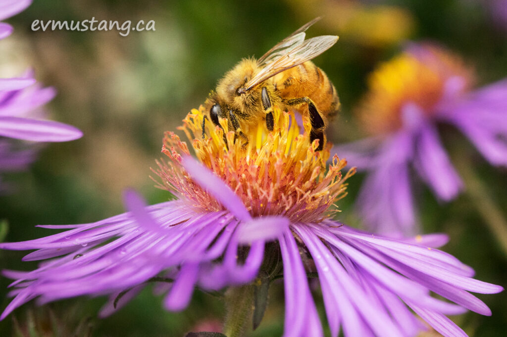 image of honey bee on an aster