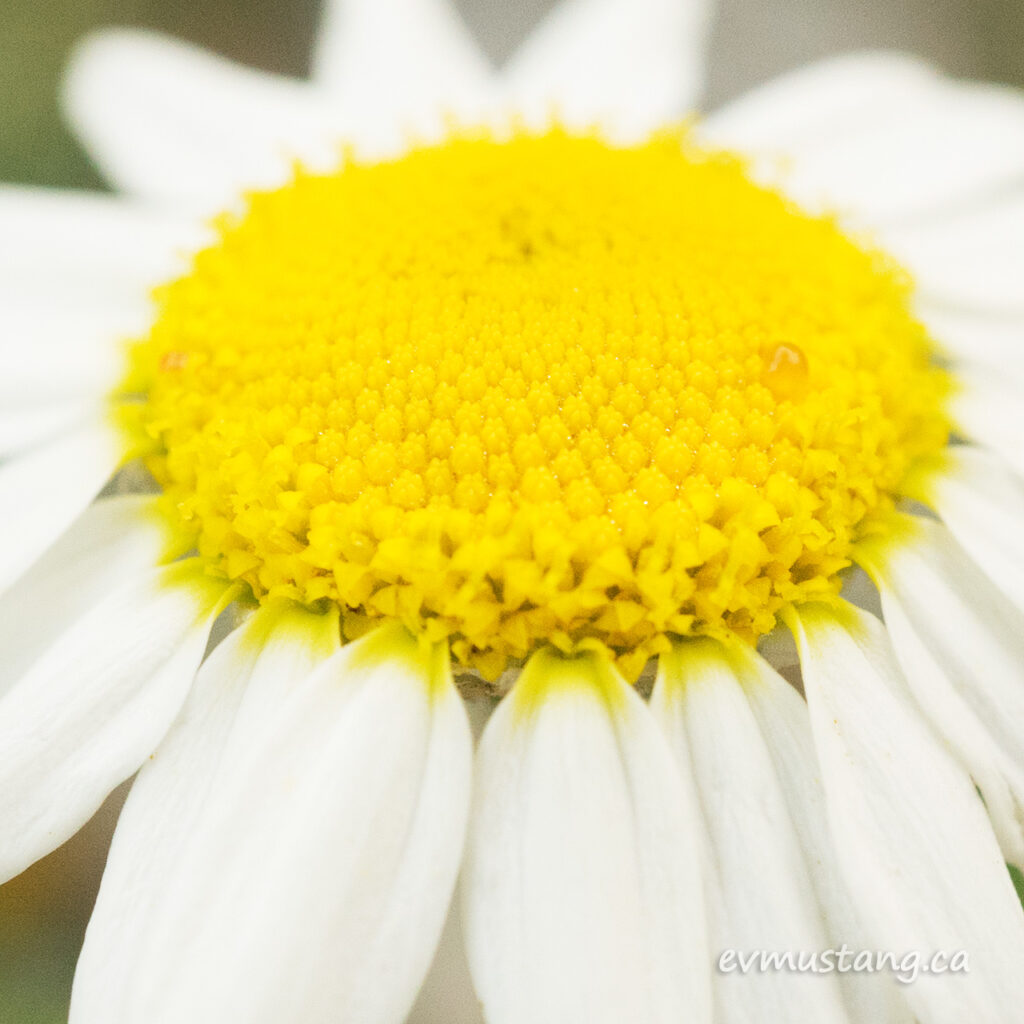 close up image of a chamomile flower