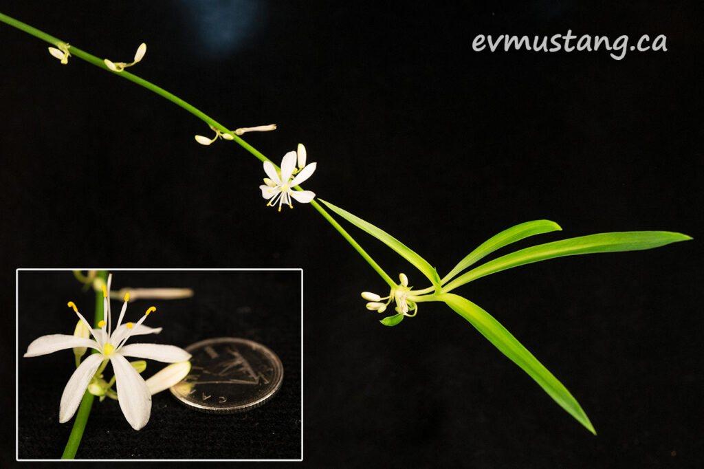 image of Chlorophytum comosum, spider plant, with inset of flower compared to canadian dime for size