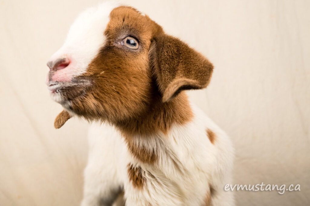 image of baby goat looking askance at the camera