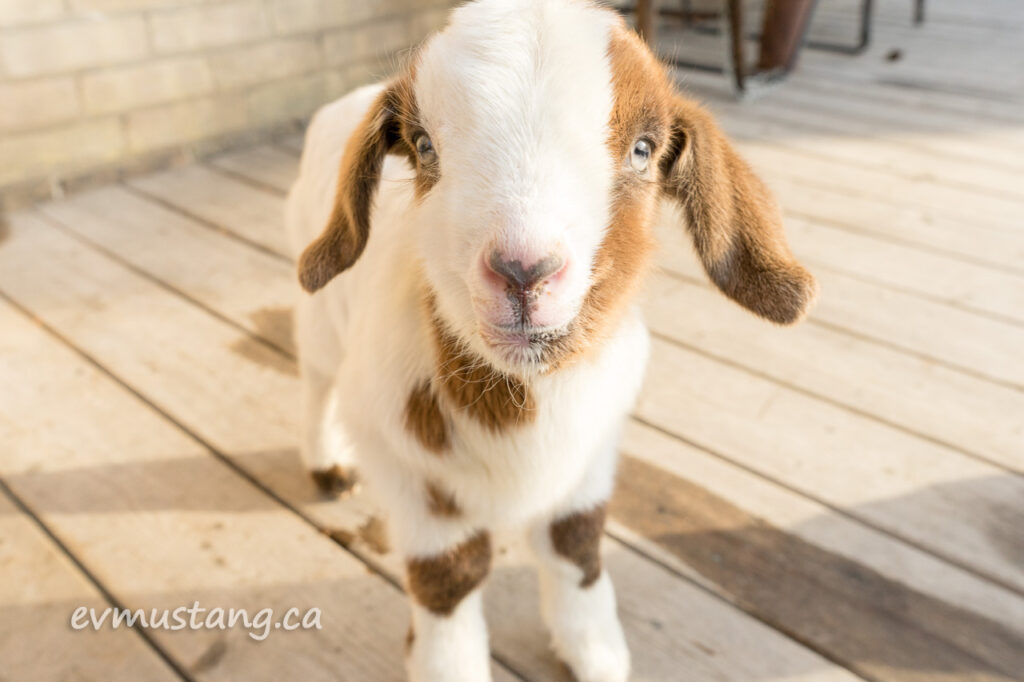image of a fuzzy brown and white patched three day old goat being super adorbs