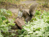 """image is a photograph of """"spats"""" the grey squirrel surrounded by variegated greenery, his two front paws up on a big, pink rock. he is looking directly at the camera and looks friendly and smiley."""
