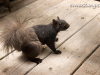 """image of britches the black """"eastern grey"""" squirrel. britches is so named because the front half of him is glossy black while his butt and hind legs have fluffy grey fur."""