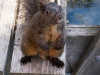 image of Brownie, Downtown Brown the eastern grey squirrel sitting up on a picnic table bench, looking haughty and naughty askance at the camera