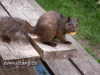 """image of Brownie, Downtown Brown, the brown """"eastern grey"""" squirrel with a nut in his mouth and a happy look on his face. He is perched on a picnic table with grass in the background."""