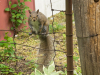 image of spats the grey squirrel perched on a fence