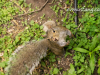 image of spats the grey squirrel from above. he is looking over his right shoulder into the camera and looks fluffy and glamerous.
