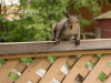 """spats-sqrl-image is a photograph of """"spats"""" the grey squirrel perched with all four feet on a porch railing looking directly into the camera with what looks like a curious smile. he has a white belly, grey fur with rusty-brown  tips. his paws have red-brown fur that look like spats."""