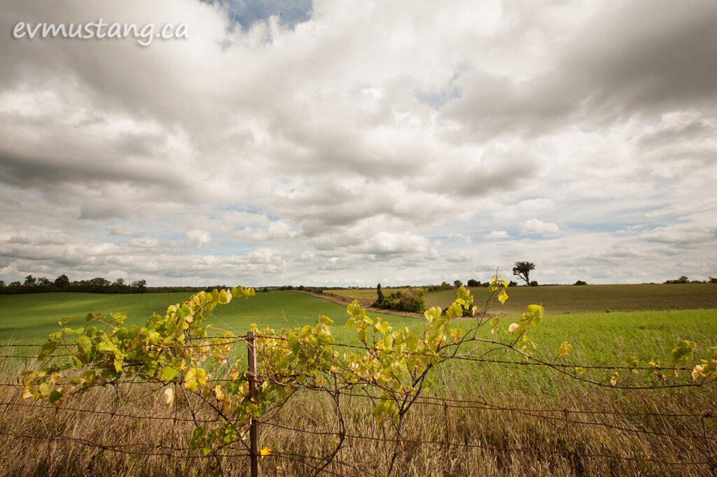 image of a wild grape growing on a fenceline in front of a long green field