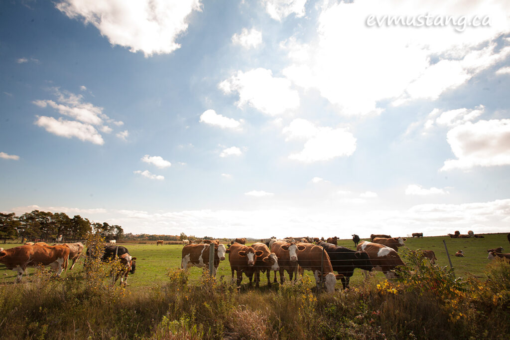 image of a gaggle of cows under a bright blue sky with puffy clouds and sun