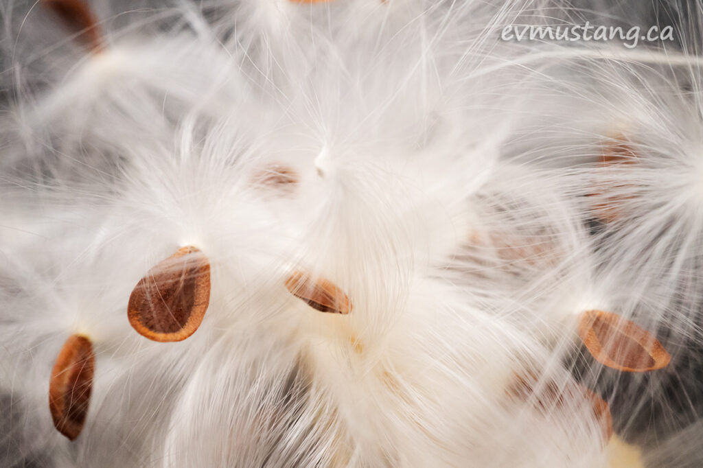 close up image of asclepias syriaca, common milkweed seeds