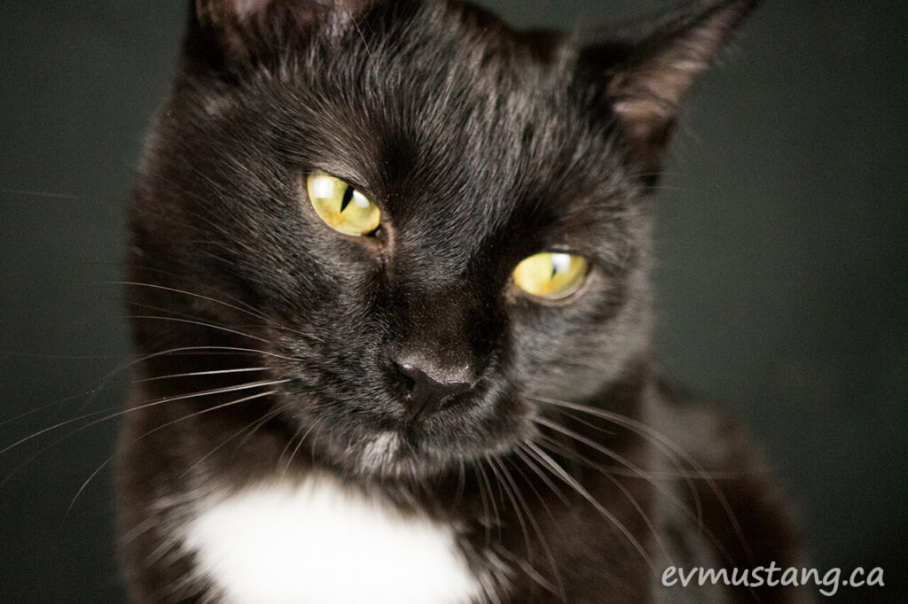 image of the cutest little black cat in the world