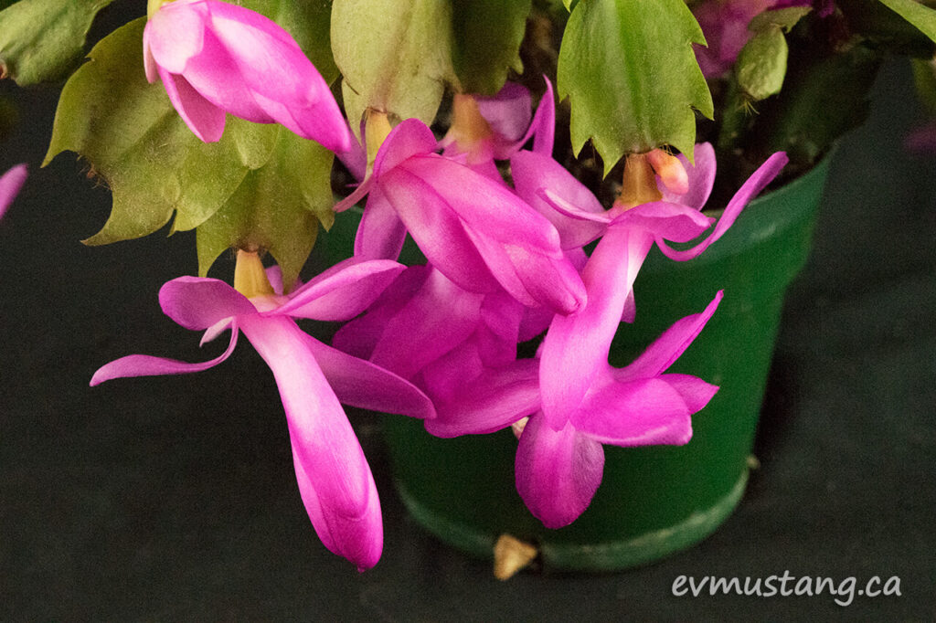 image of christmas cactus in bloom with bold pink flowers
