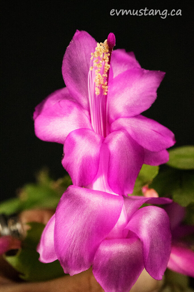 image of single christmas cactus bloom fully open