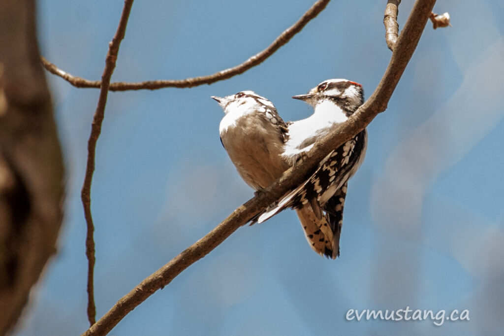image of a mating pair of downy woodpeckers
